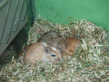 Kleine Rennmäuse beim Mittagsschlaf