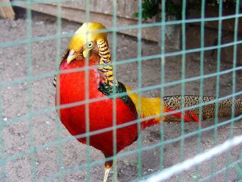 Stolzer Goldfasan im Tierpark Bad Brückenau
