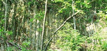 Basaltsäulen im Biosphärenreservat Hochrhön