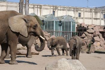 Bln. Tierpark,  Elefanten