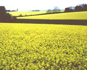 Rapsfeld - Duft des Felder