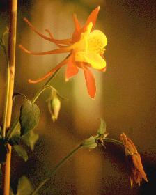 Akelei in der Abendsonne