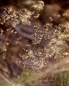 Gräser -Blüten