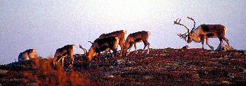 CARIBOUHERDE  IN  DER  HERBSTLICHEN  TUNDRA