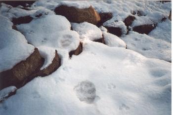 Fußspuren von einem Bär im Garten