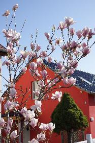 Magnolienbäumchen