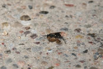 Insekt mit Beute