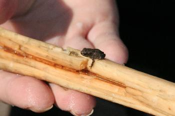 klitze kleiner Frosch 1